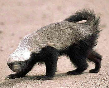 Honey_badger jaganath wikipedia