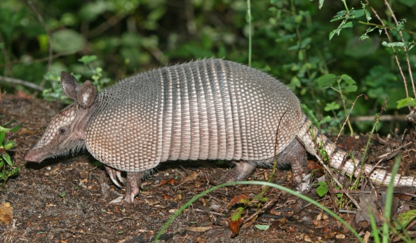 Nine-banded_Armadillo tom friedel wikipedia